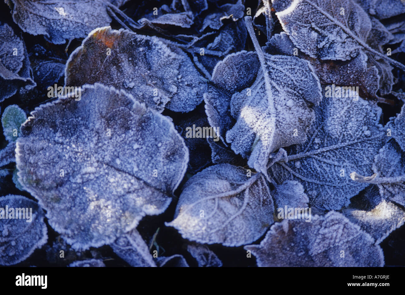 early morning frost on leaves in garden at autumntime uk - Stock Image