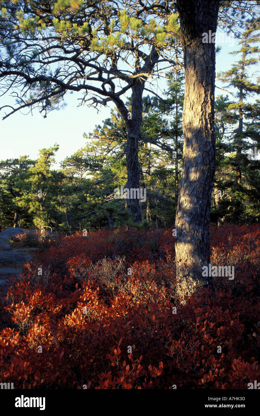 North America, US, ME, Lowbush blueberry, Vaccinium vacillans. Pitch pine, pinus rigida, on St. Sauveur Mtn in fall. - Stock Image