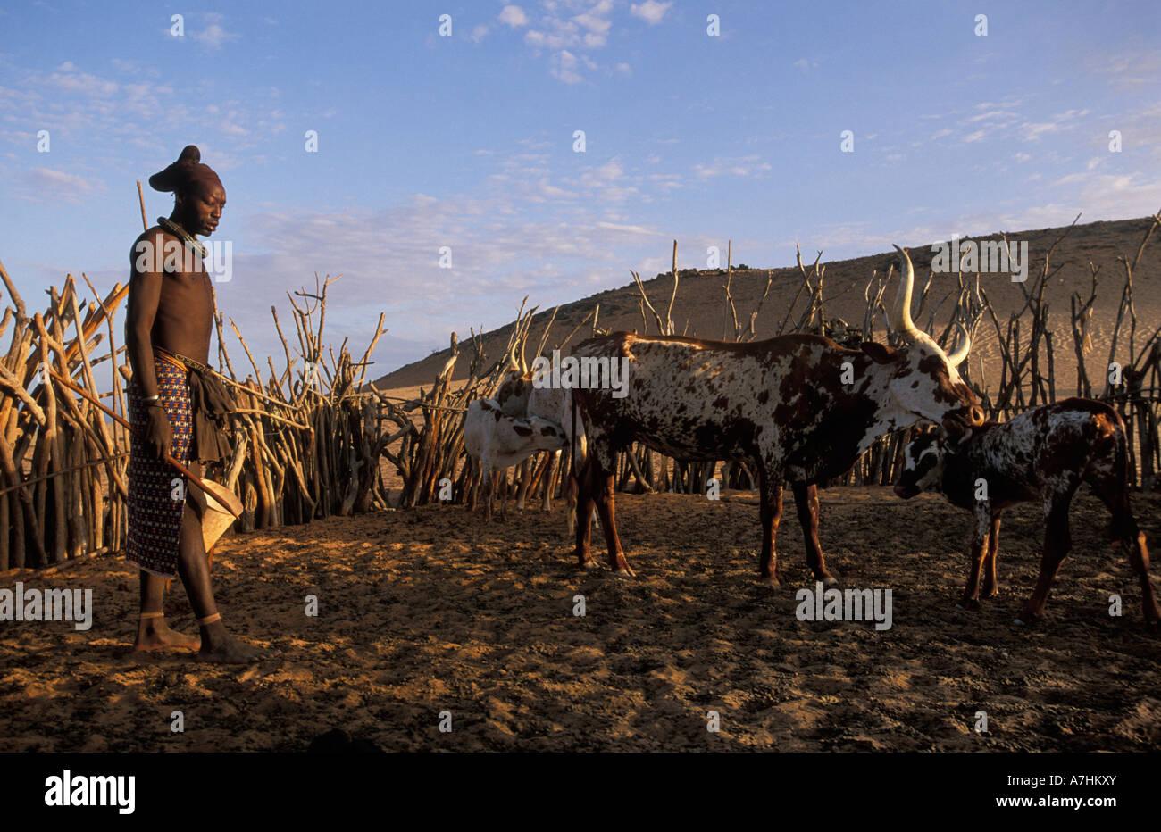 Himba man milking cattle, Kunene region, Kaokoland, Namibia - Stock Image