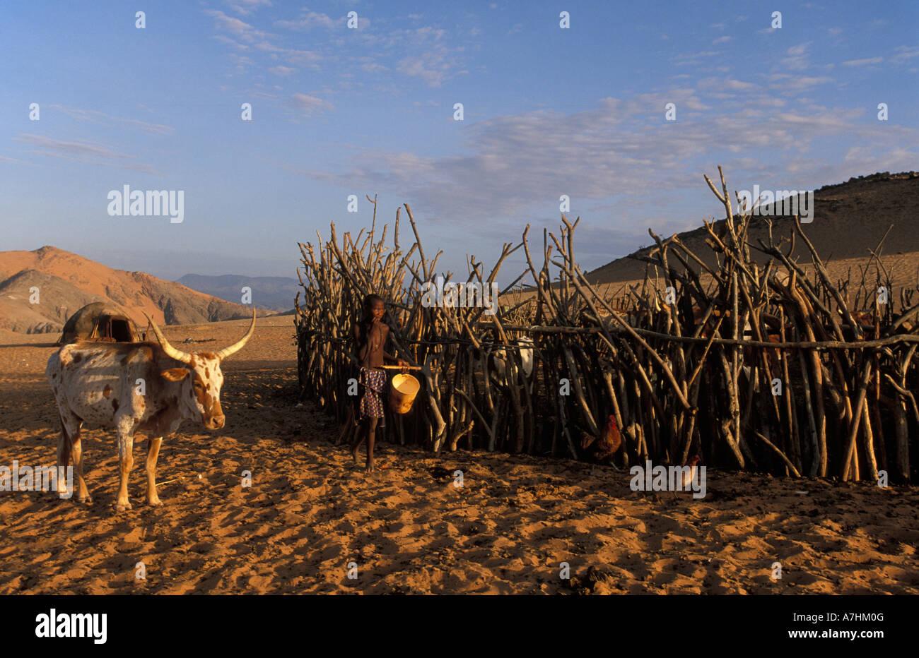 Himba boy milking cattle, Kunene region, Kaokoland, Namibia - Stock Image