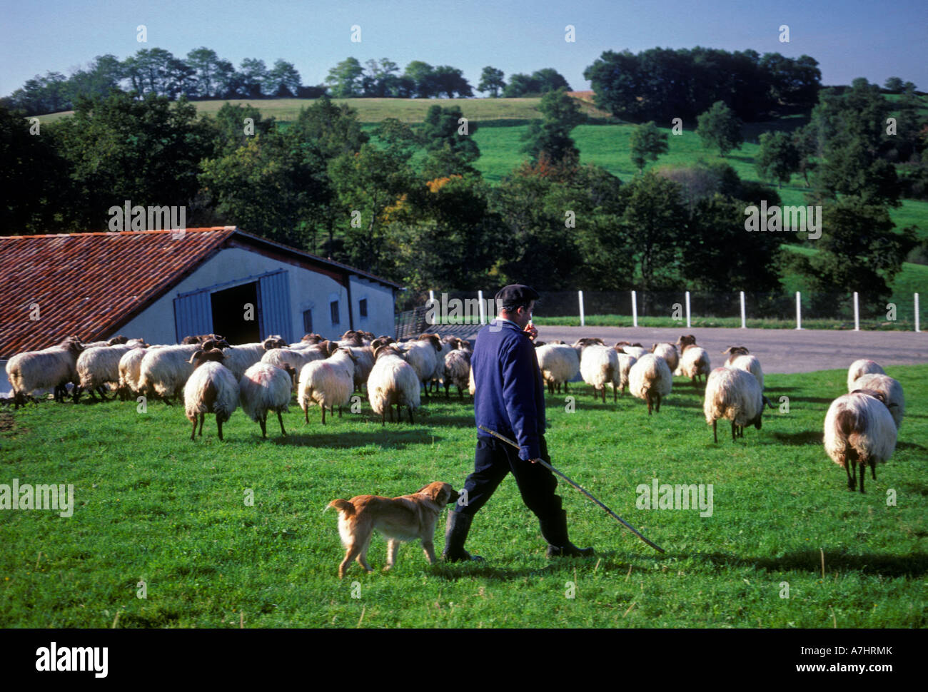 French Basque people person man male shepherd dog and flock in the French Basque Country Saint-Pierre-d'Irube - Stock Image