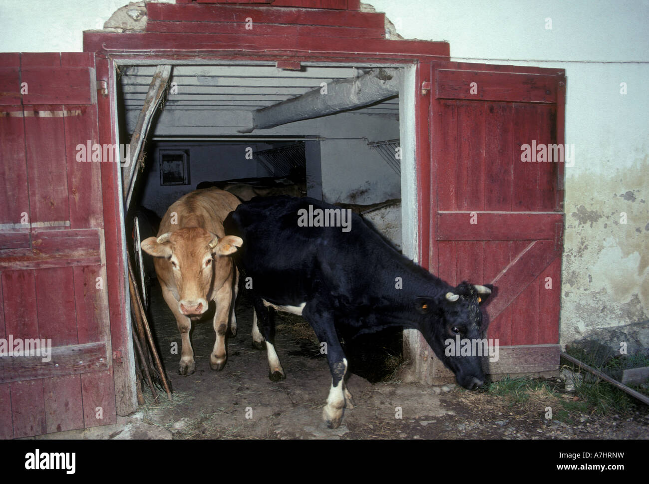Dairy cows leaving barn in the french basque country village of jatxou france europe stock