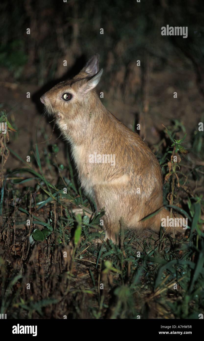 Springhare Pedetes capensis Hwange National Park Zimbabwe Stock Photo