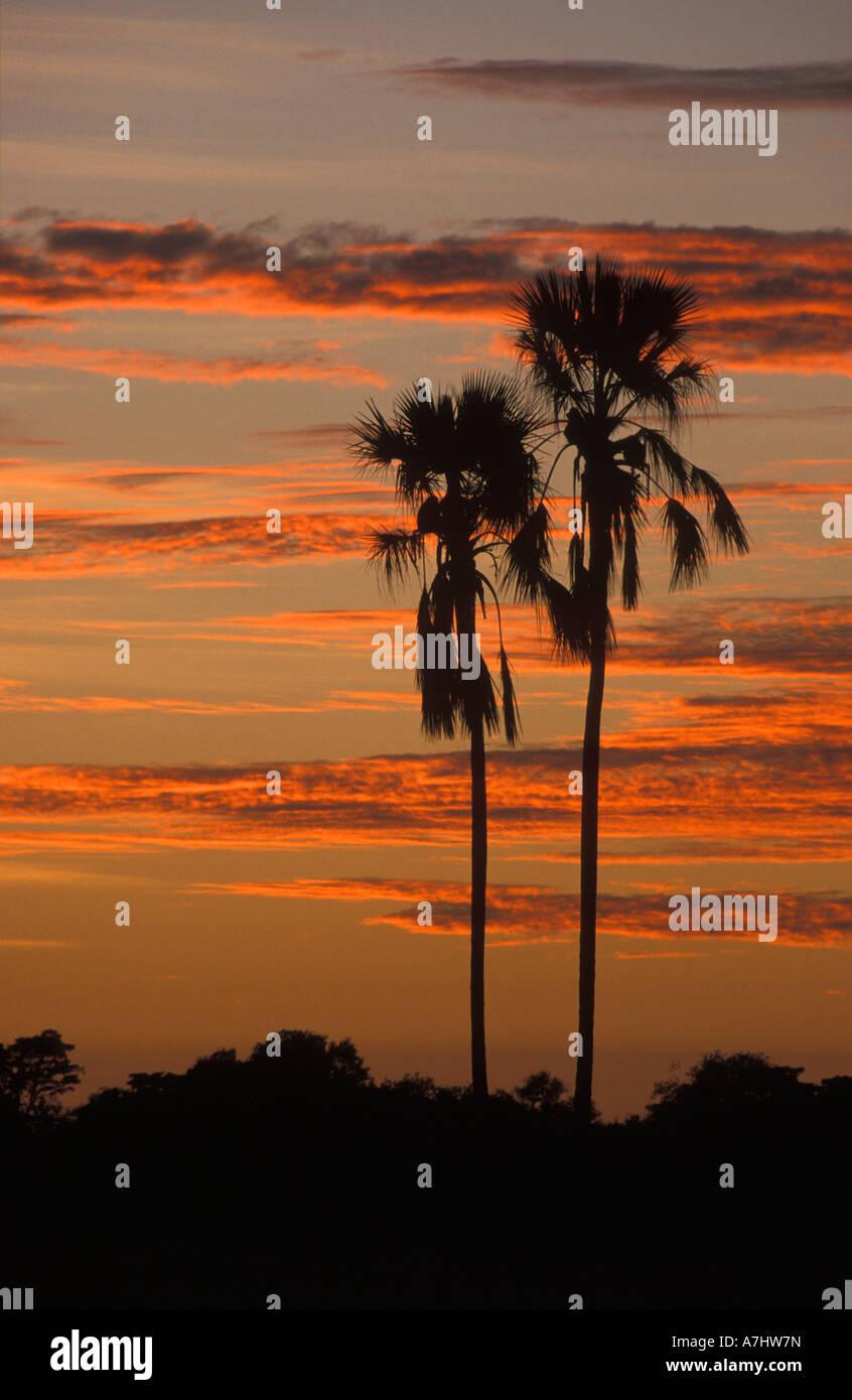Ilala palm at sunset Hwange National Park Zimbabwe Stock Photo