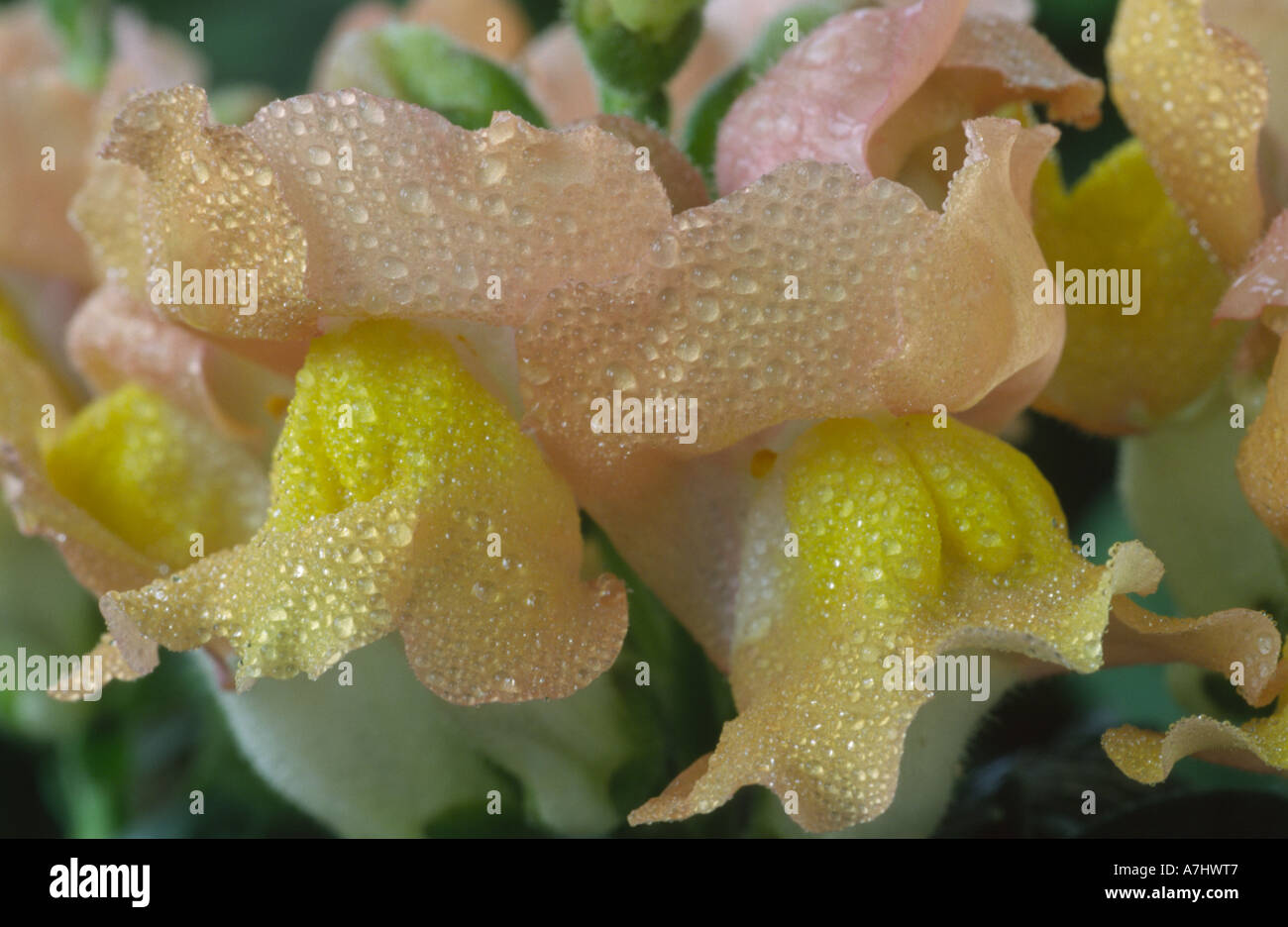 Antirrhinum majus  'Delice' Snapdragon. Stock Photo