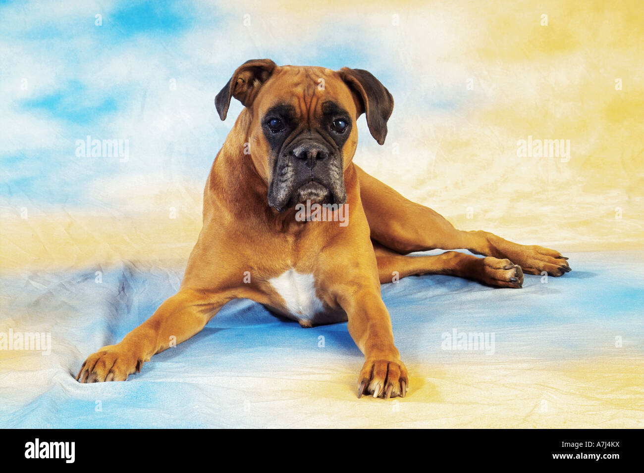 old Boxer - lying - cut out Stock Photo