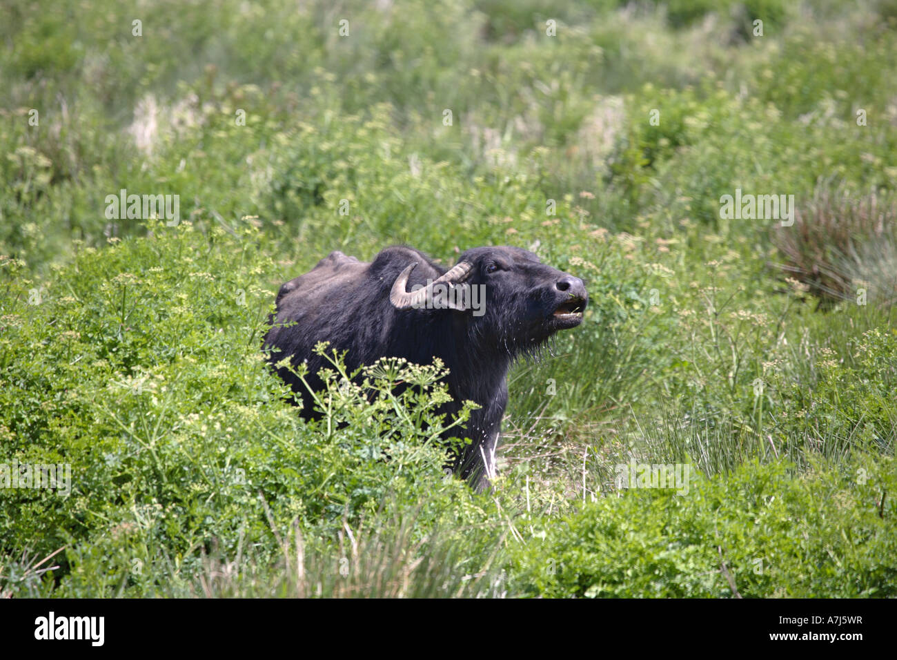 Water buffalo at the Teifi Marshes nature reserve Stock Photo