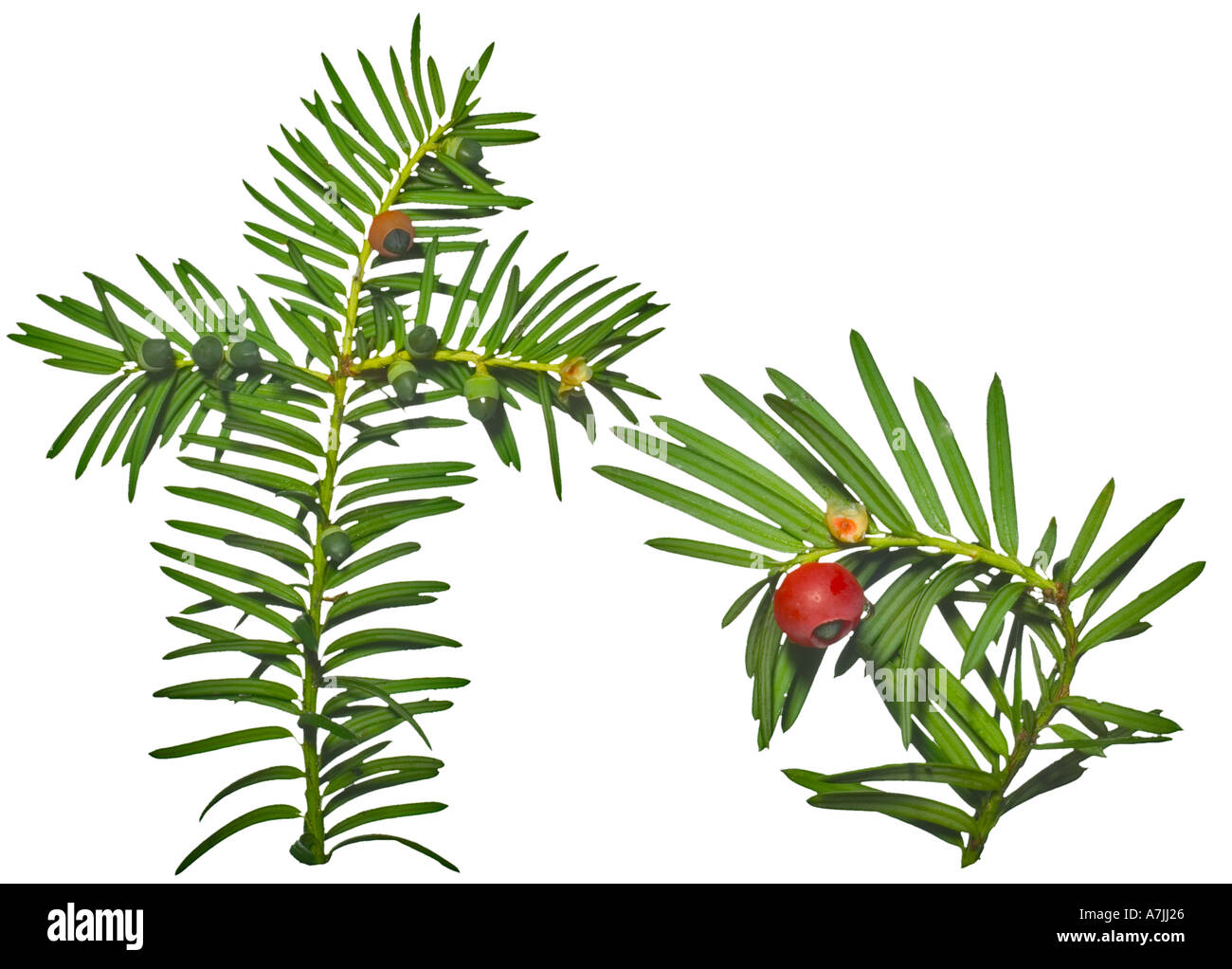 YEW Taxus baccata Leaves Berry Surrey England Poisonous leaves berries - Stock Image