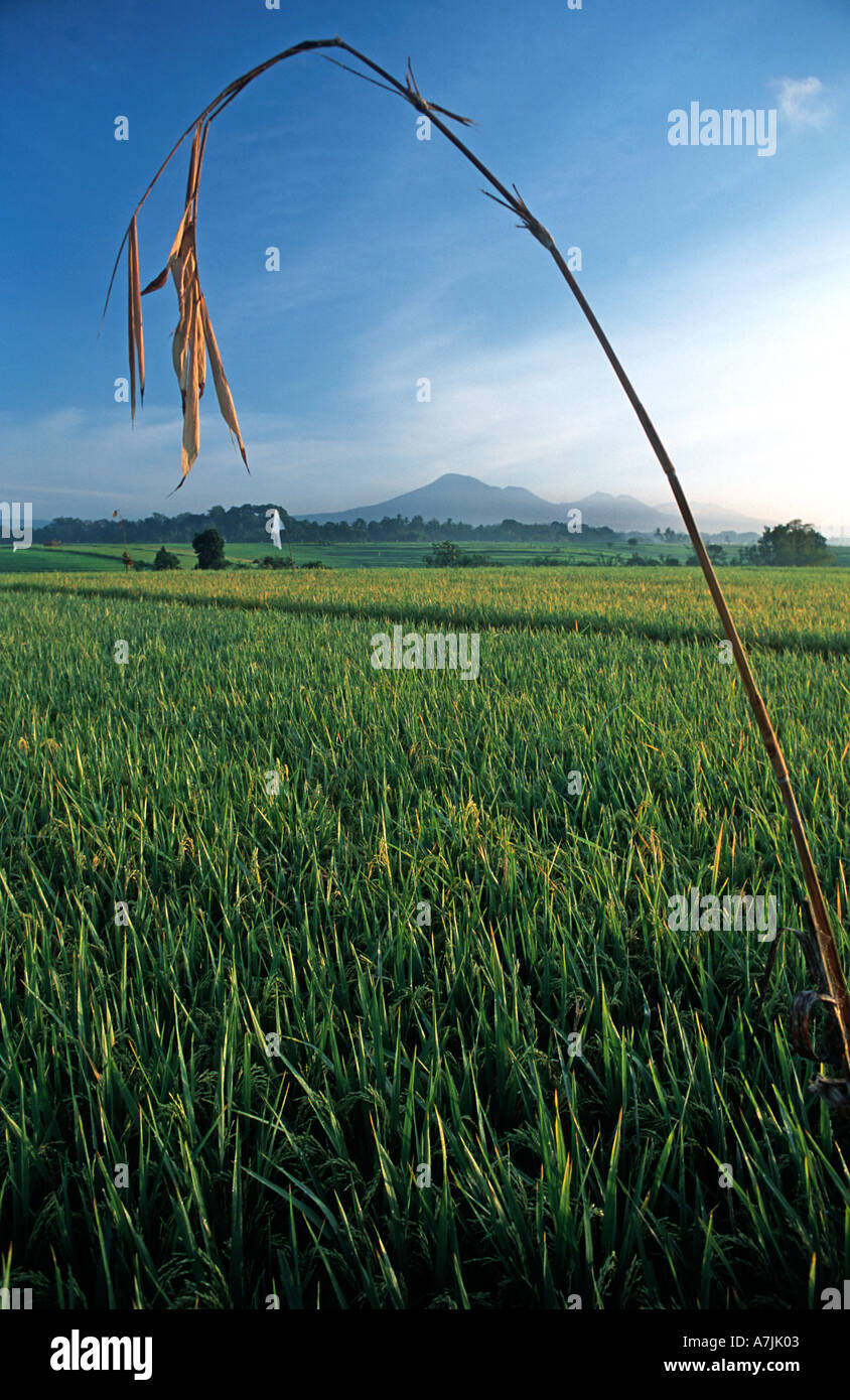 Rice fields at dawn Gunung Batukau in the distance Inland of Yeh Gangga Bali Indonesia Palm offering - Stock Image