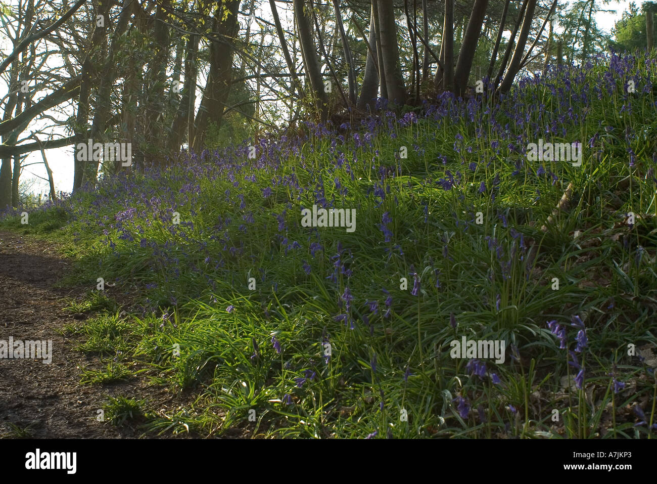 Bluebells in a coppice Stock Photo