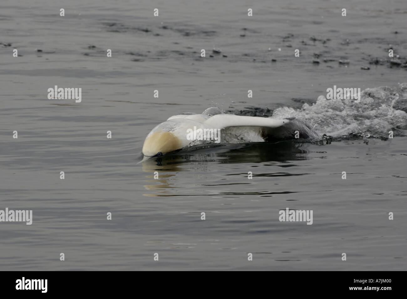 France a gannet northern morus bassan setting on the ocean surface - Stock Image