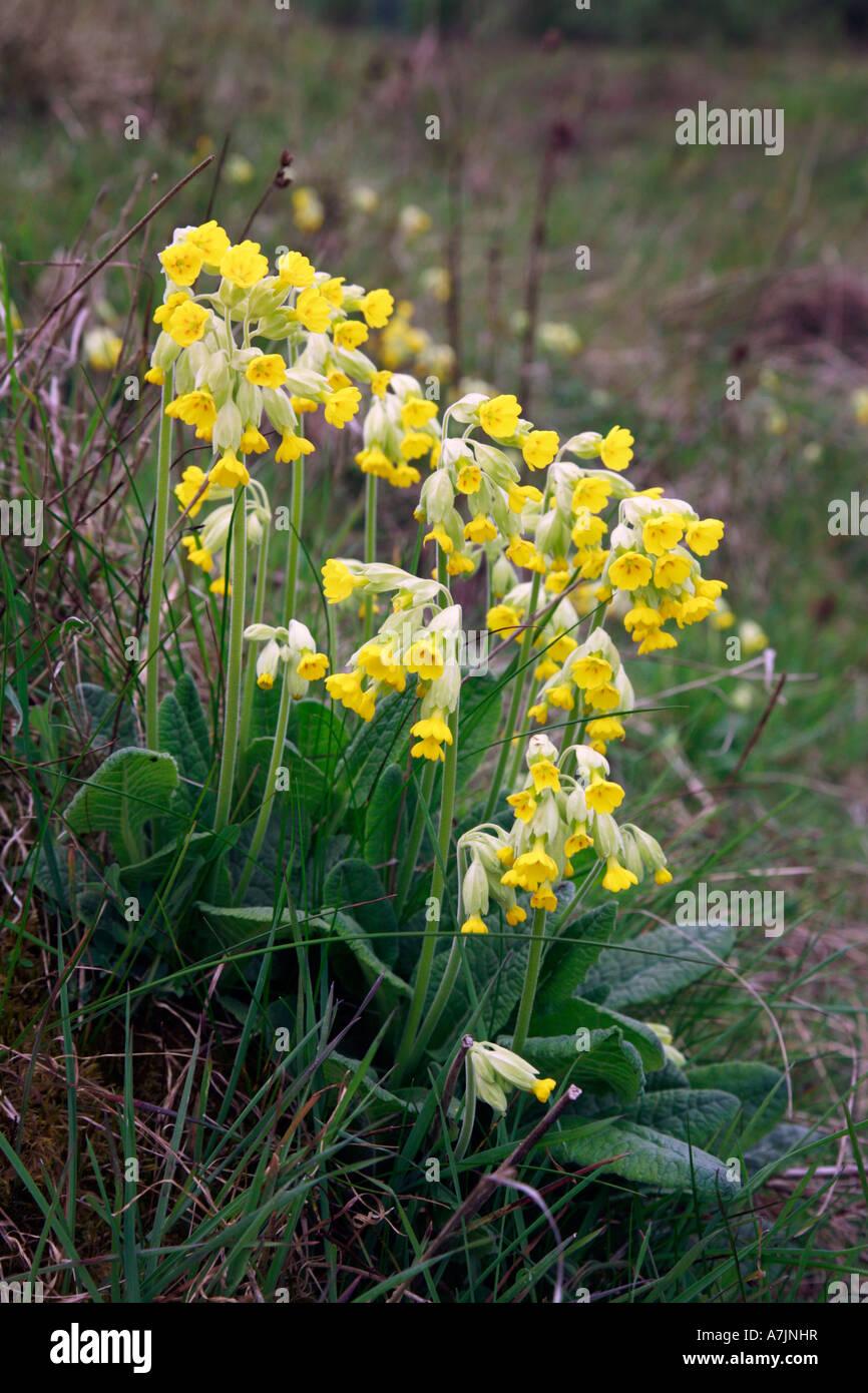 Cowslip Primula veris flower spikes Stock Photo