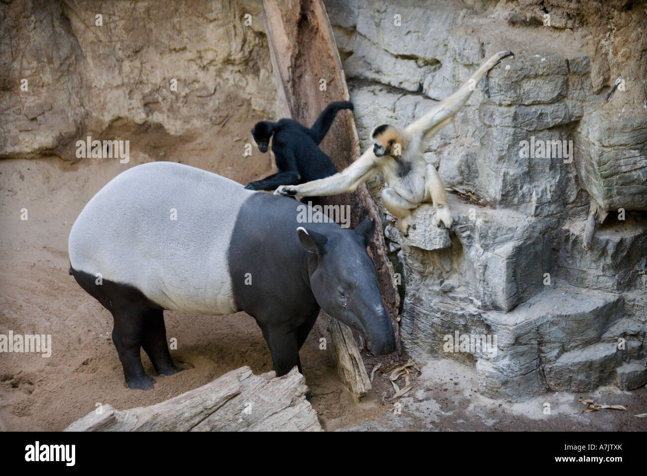 Two Gibbons Grooming A Tapir At The Bronx Zoo As The Animal Stands