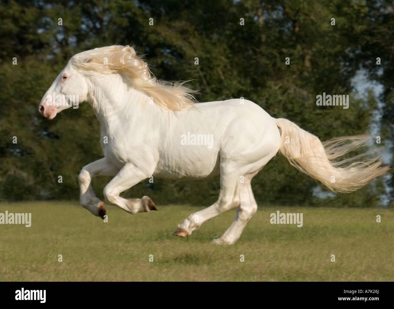 Four Year Old American White Draft Horse Stallion Stock Photo Alamy