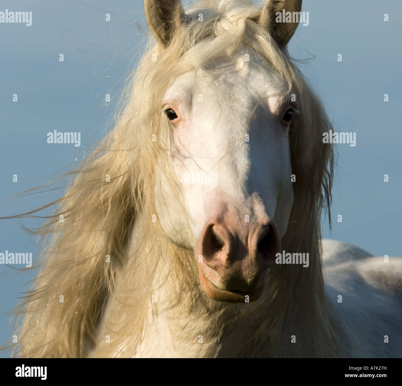 Head Of American White Draft Horse Stallion Running From Side Stock Photo Alamy