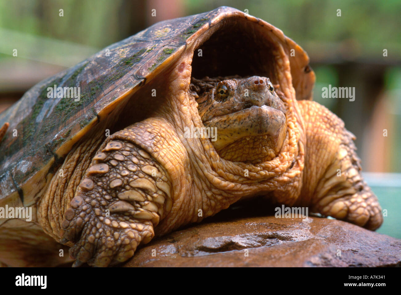 Close up of North American snapping turtle Stock Photo: 2192192 - Alamy