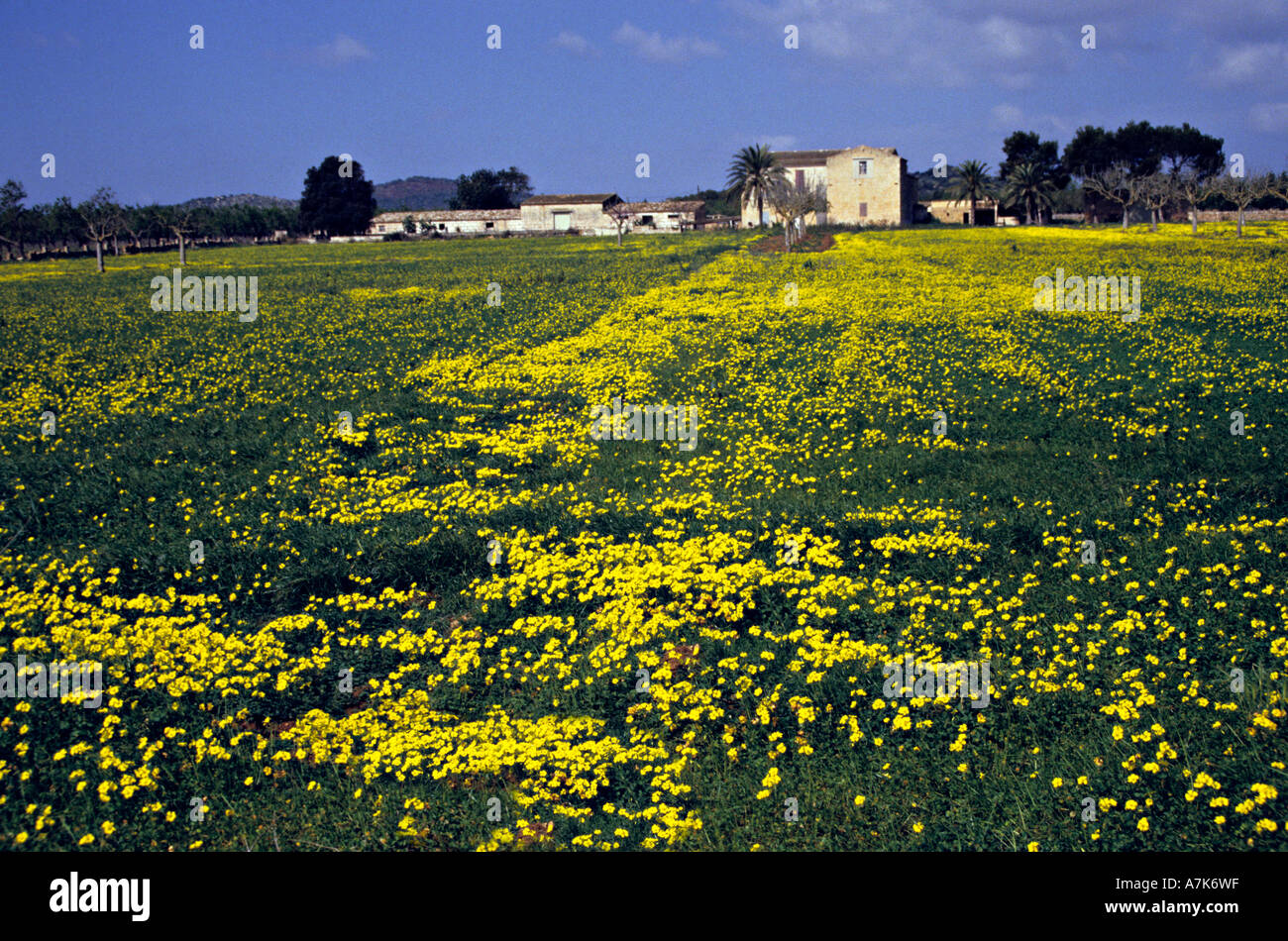 Yellow Flowers In Field In Front Of Farmhouse Mallorca Spain Europe