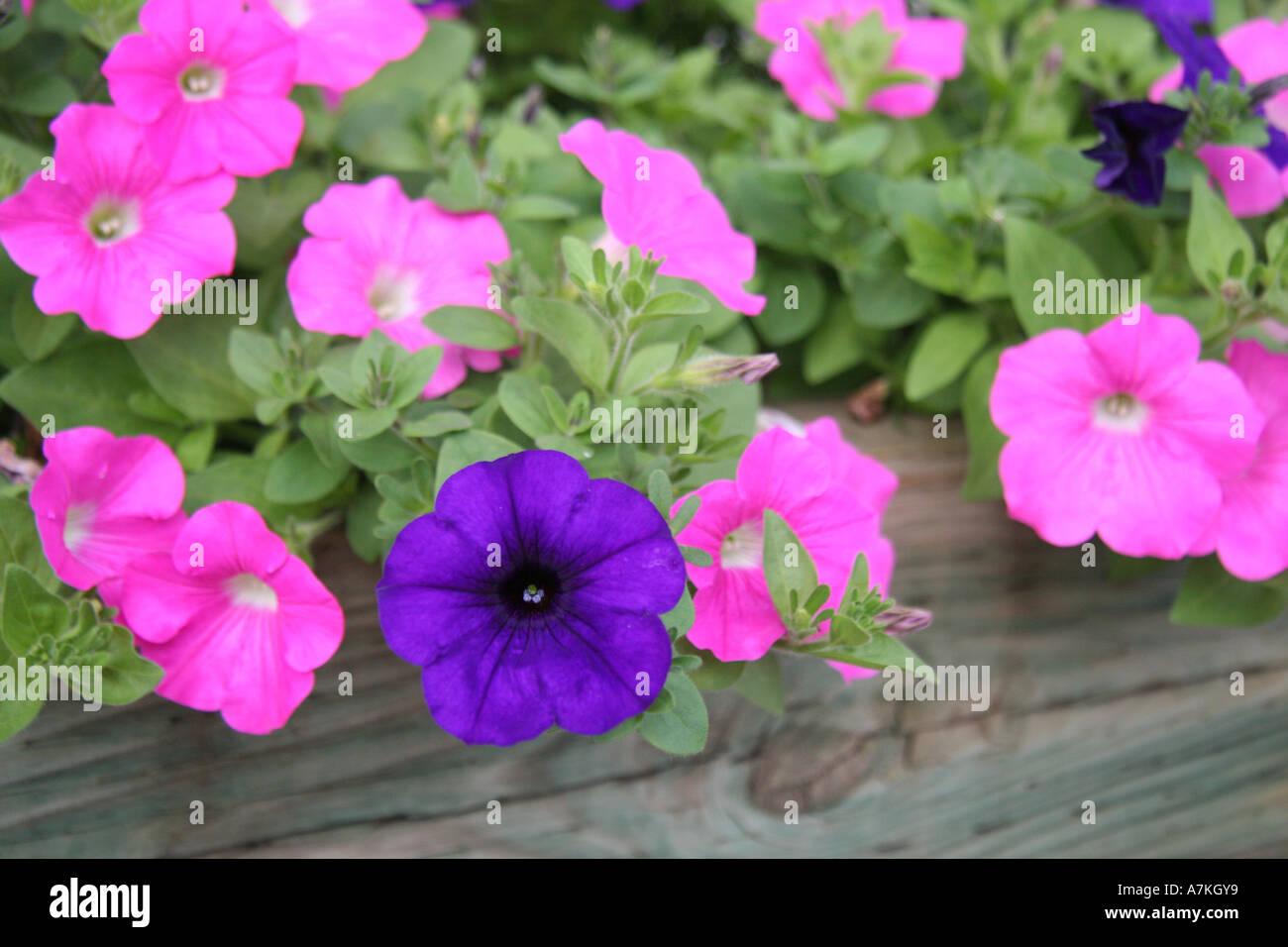 Pink and Blue Flowers of Baddeck, Nova Scotia - Stock Image