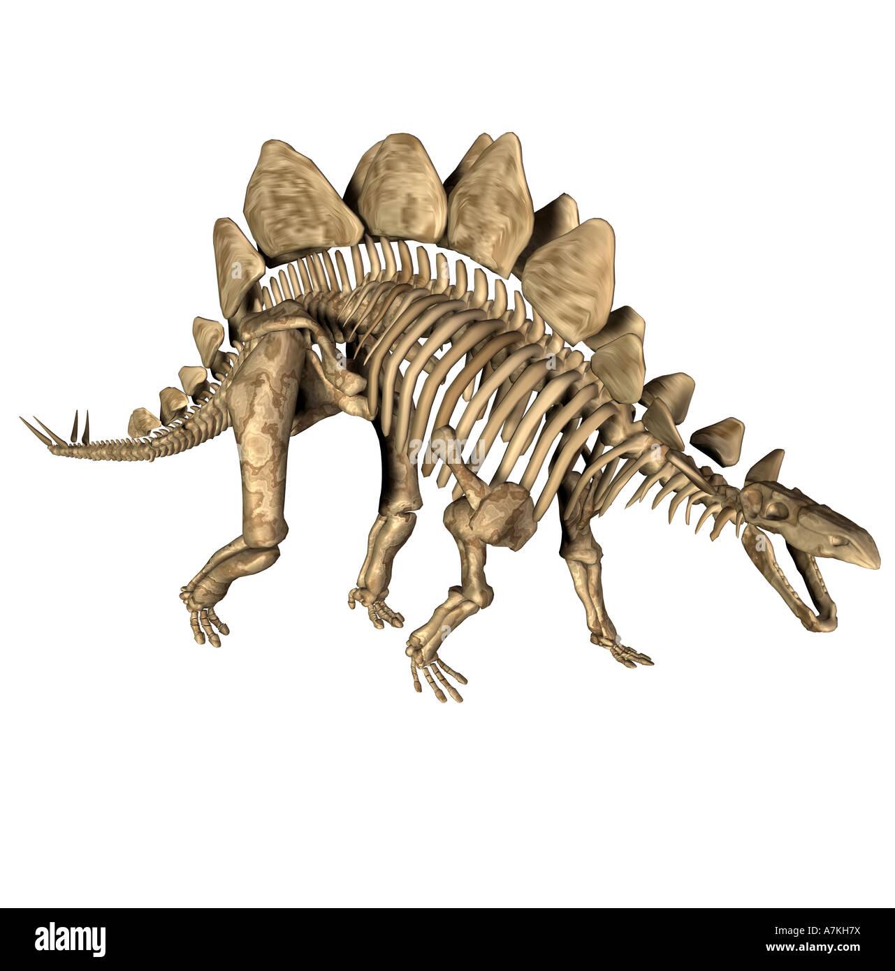 Stegosaurus dinosaur skeleton - Stock Image