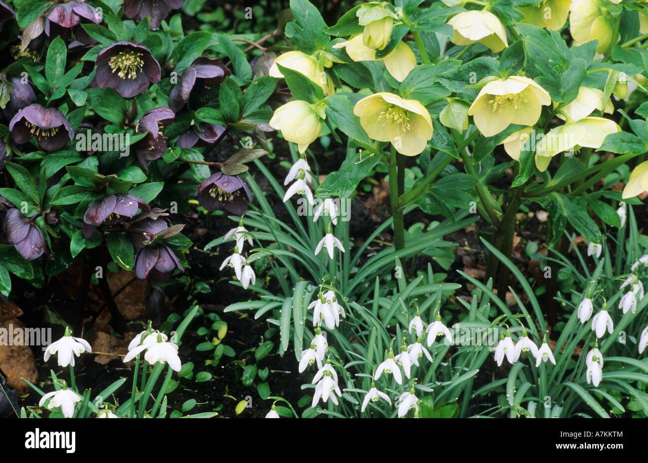 Helleborus Orientalis Primrose And Blue Black Snowdrops Containers