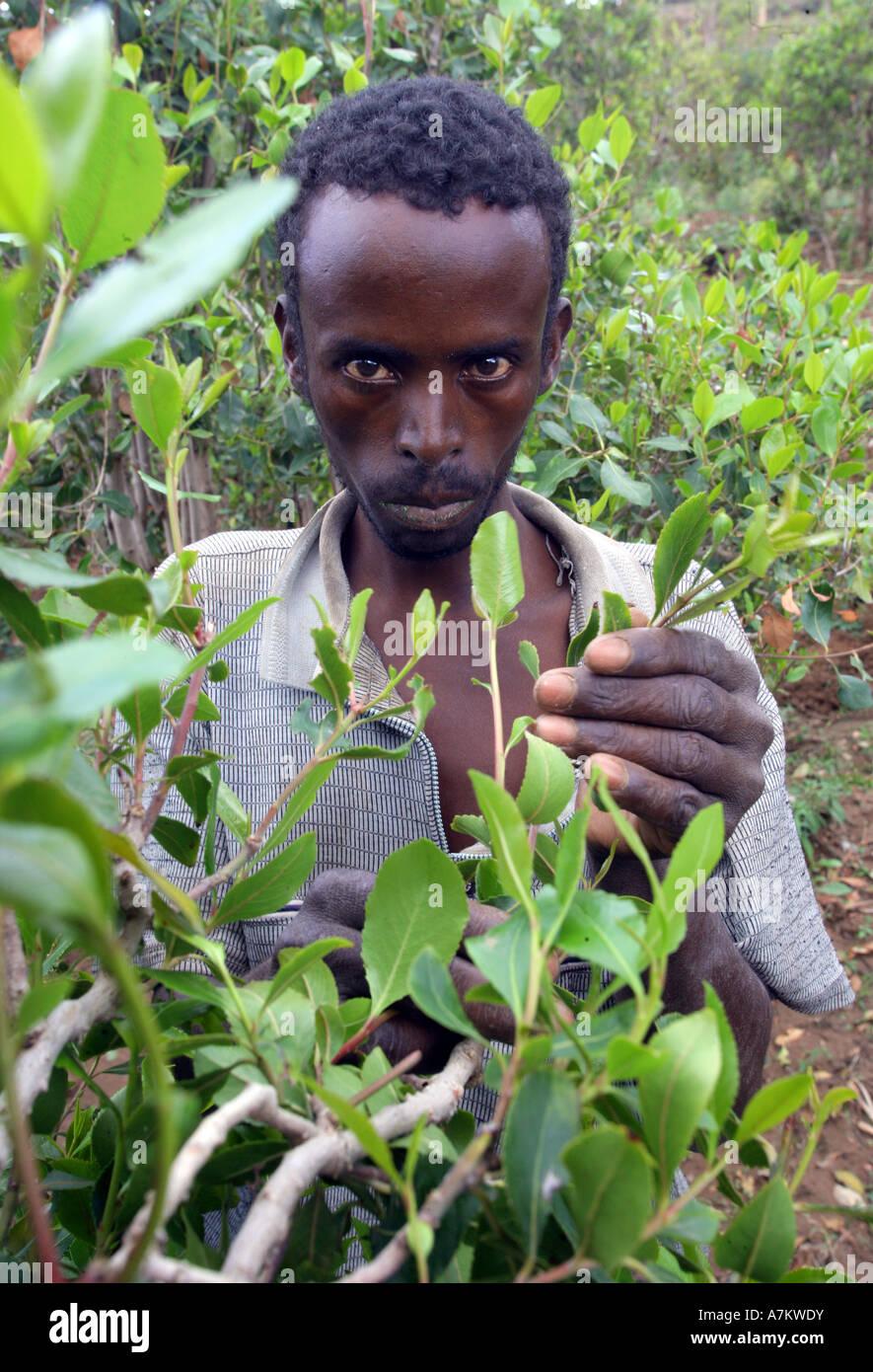Ethiopia - Farmer harvests leaves of the plants drug Chat at his farm near Harar - Stock Image