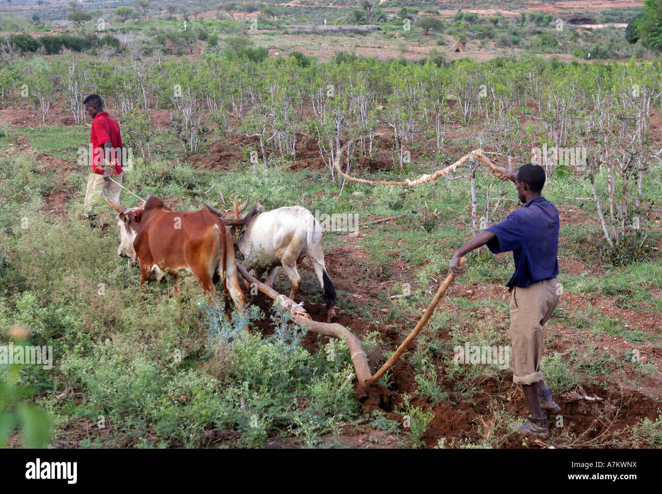 Ethiopia - a man leads the cattles in plowing his families farmland - Stock Image