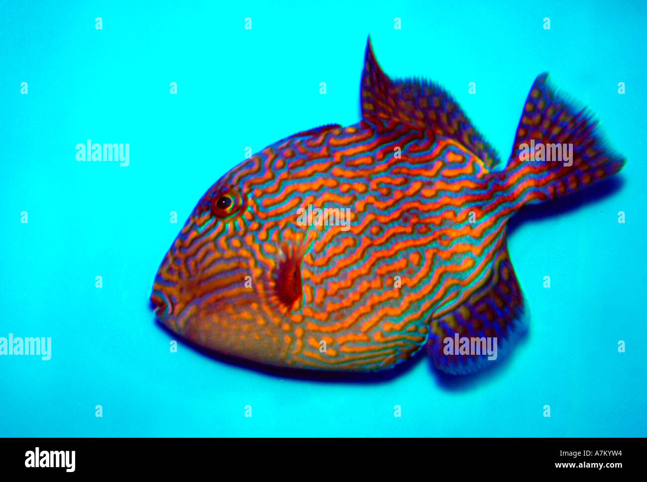 Jigsaw Trigger Fish (Pseudobalistes fuscus) - Stock Image
