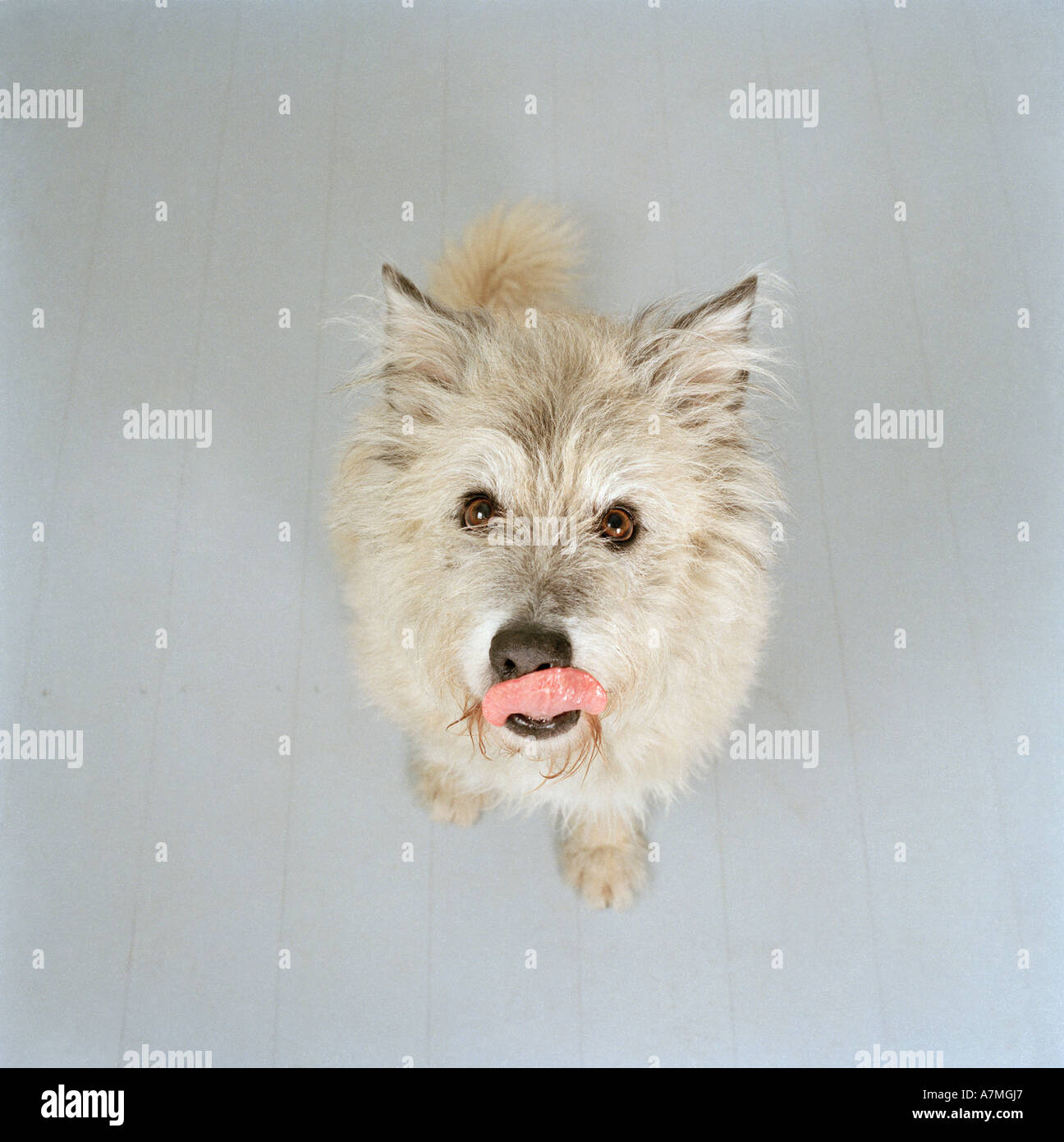 A white dog licking its nose - Stock Image