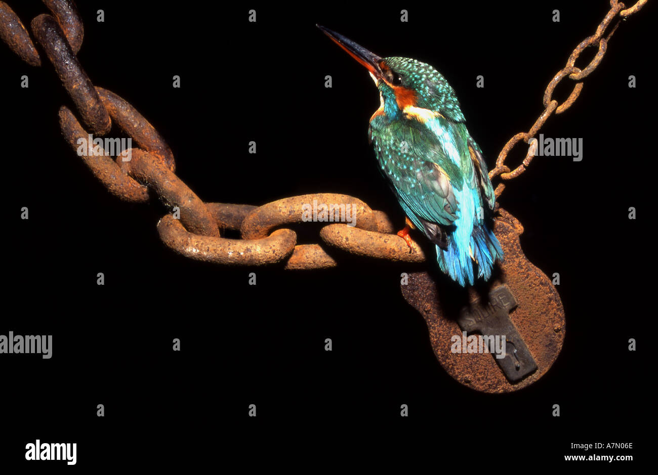 European kingfisher Alcedo atthis perched on rusted chain link and padlock - Stock Image