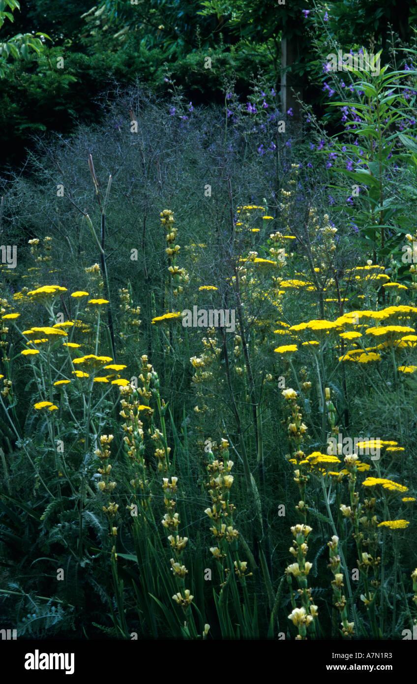 Achillea 'moonshine', Sisyrinchium stratum and giant bronze fennel - Stock Image
