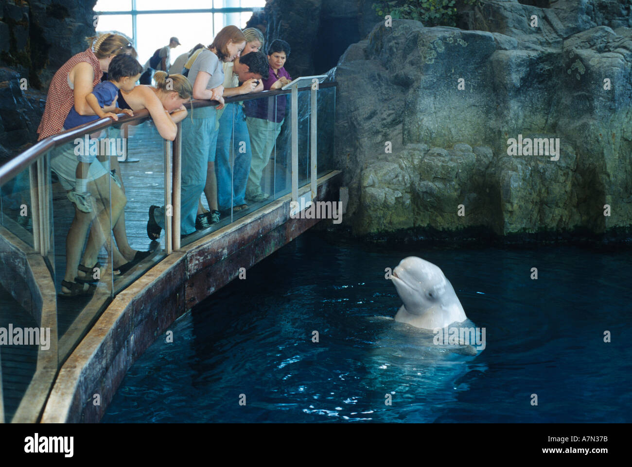visitors view a beluga whale at the shedd aquarium in chicago stock
