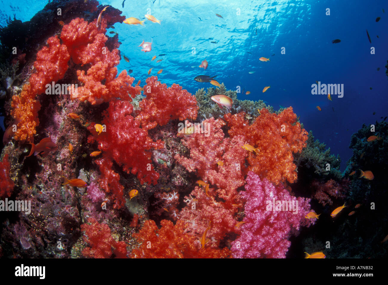 Underwater view of a brightly colored coral reef in Thailand Stock ...