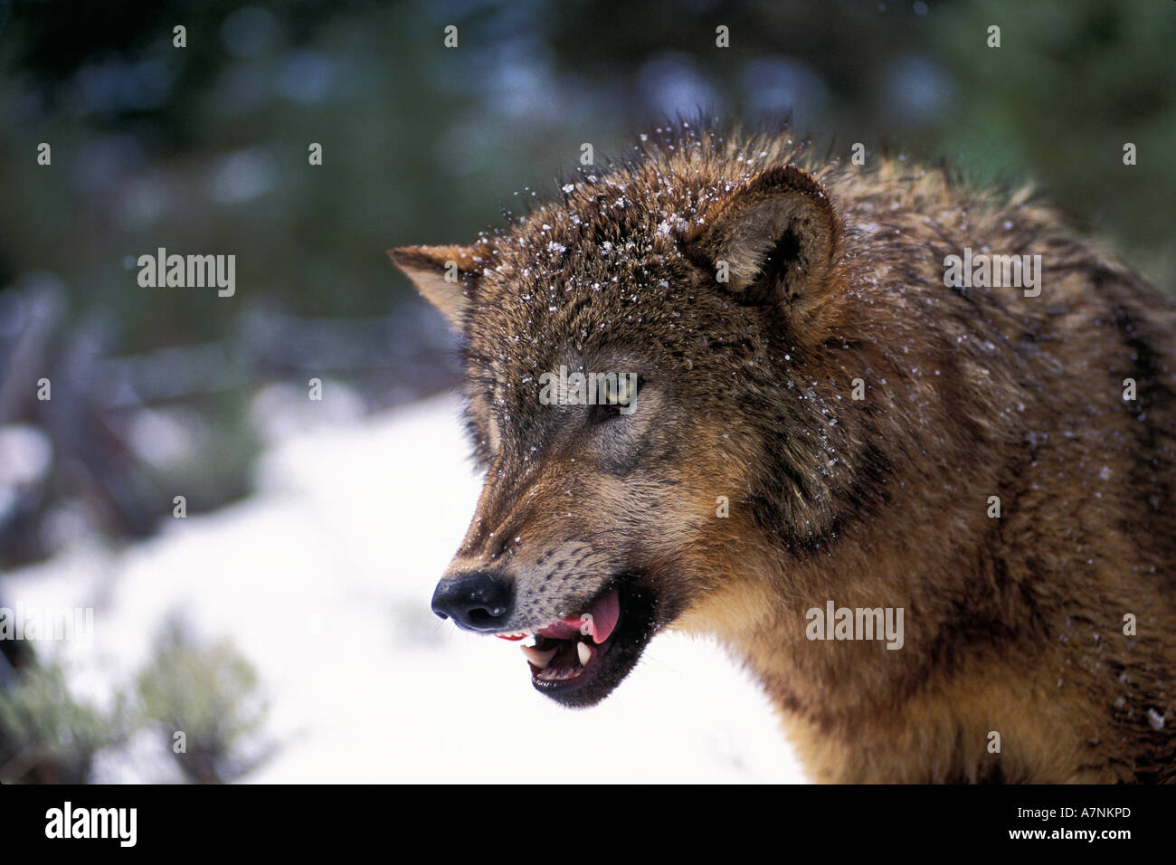 Grey Wolf Snarling With Teeth Bared Stock Photo: 6790060