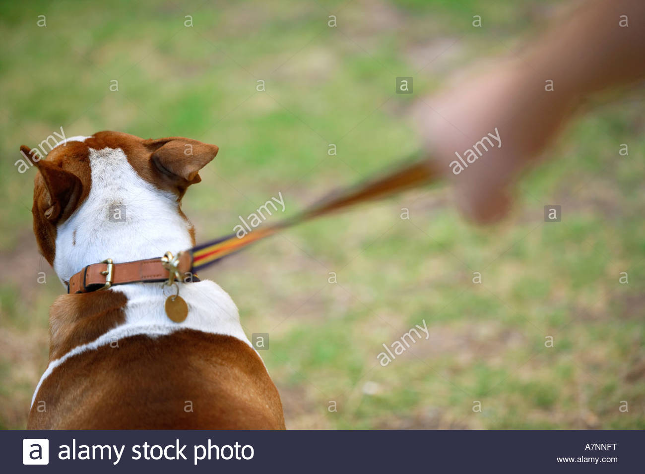 Man walking dog on grass rear view close up differential focus - Stock Image
