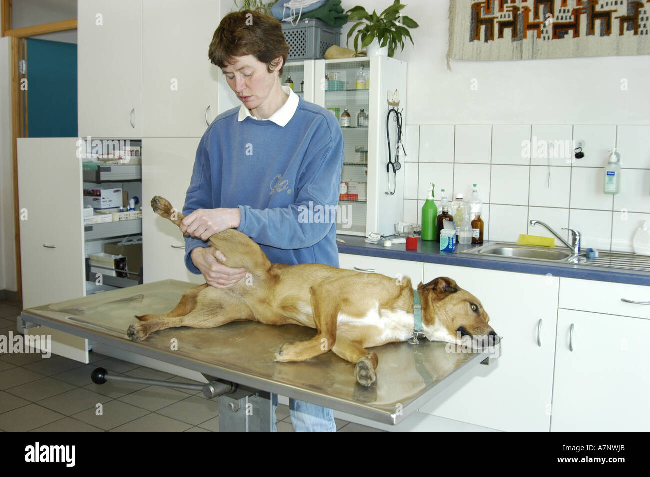 domestic dog (Canis lupus f. familiaris), dog at veterinarian - Stock Image