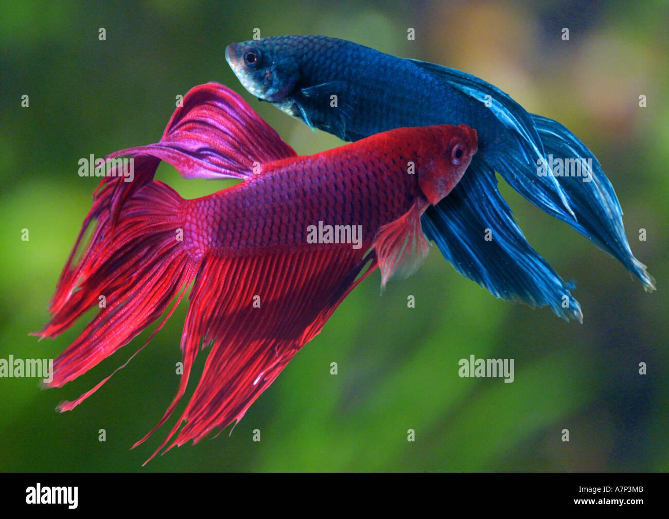 Siamese Fighting Fish Betta Splendens Fighting Males Stock Photo