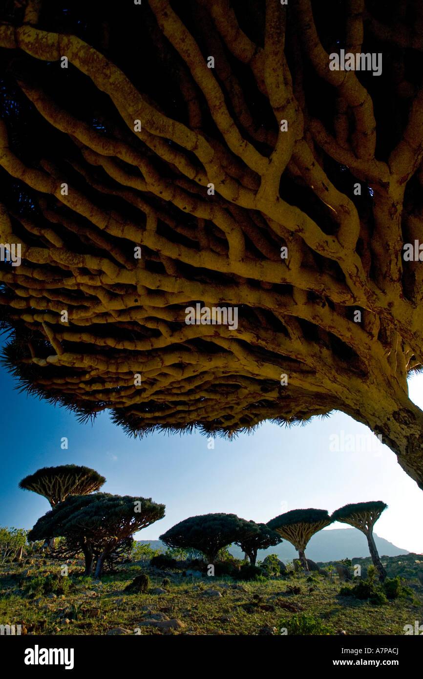 Dragonblood tree (Dracaena Cinnabari), Homil Plateau, Socotra Island, Yemen - Stock Image