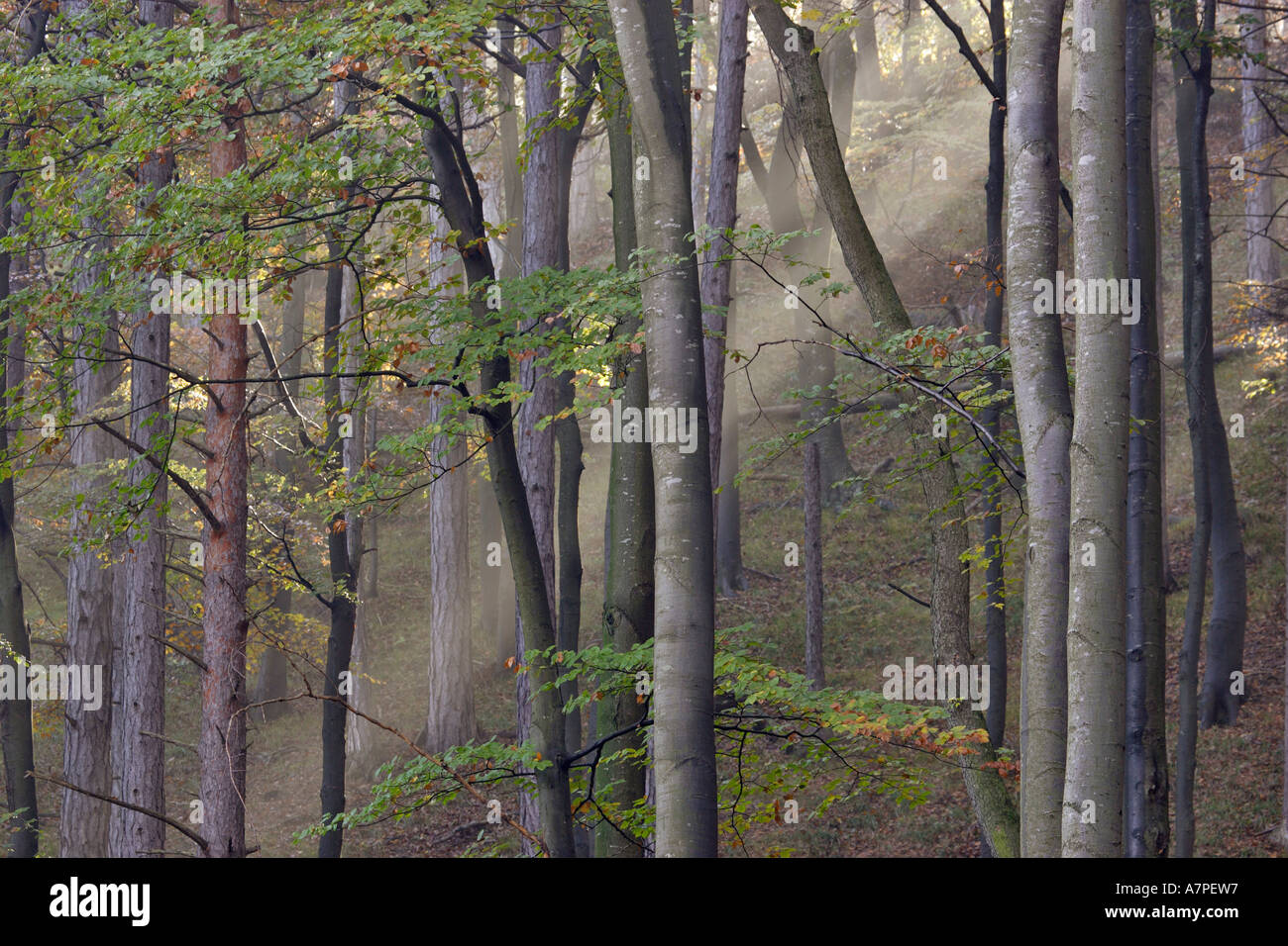 Sun is shinning into a beech forest with fog Lower Austria - Stock Image