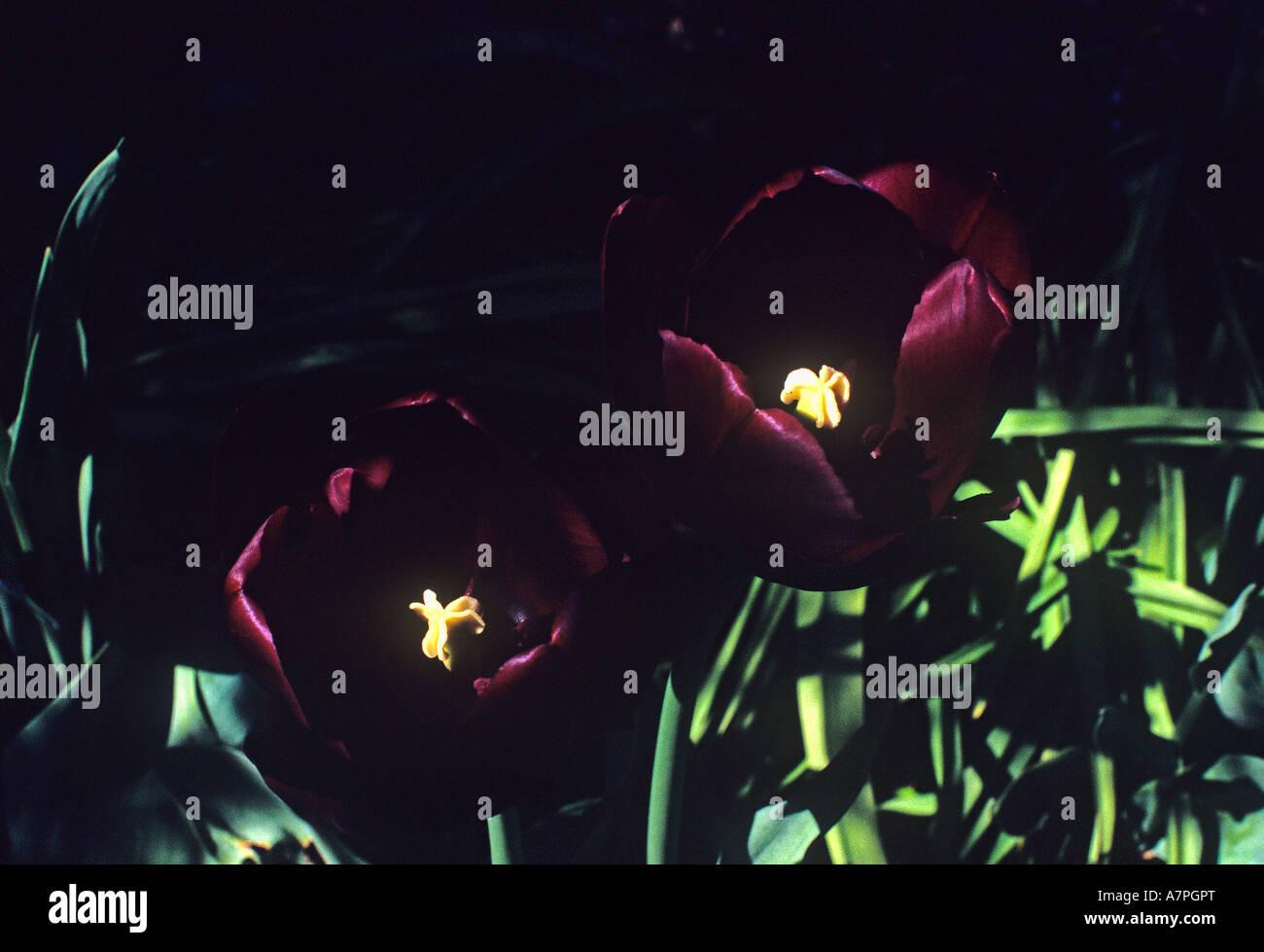 dark purple almost black group 5 Tulip Tulipa Queen of the Night - Stock Image