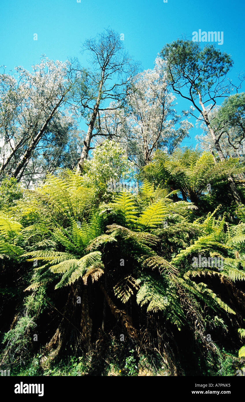 mountain ash, Victorian ash (Eucalyptus regnans), is said to be the tallest plant species of the world, edge of forest with fer - Stock Image