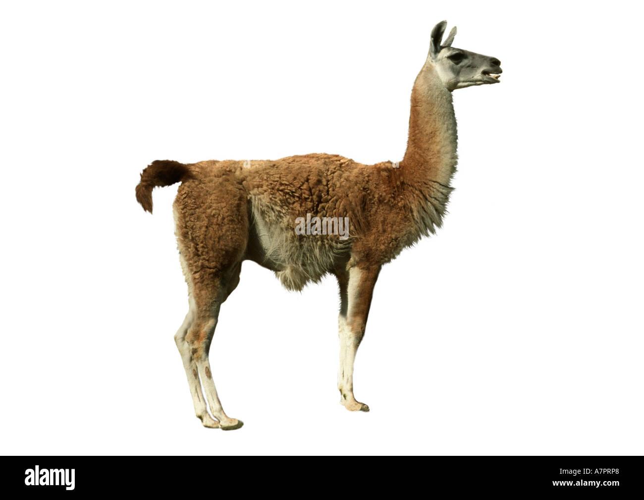 guanaco (Lama guanicoe), cutted out - Stock Image