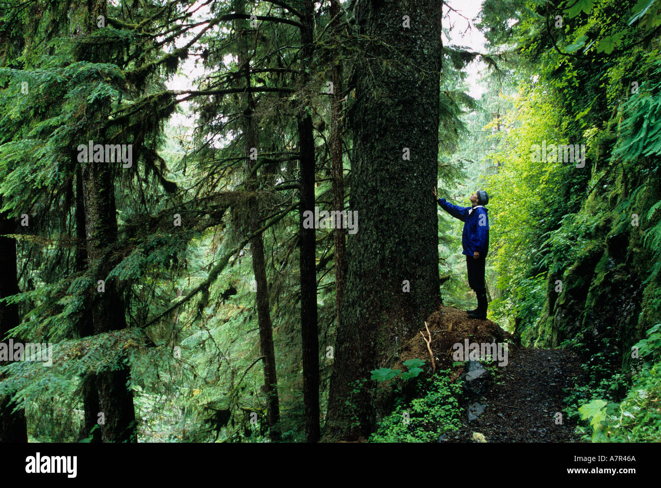 hiker studying tree in the lush rainforest of southeast alaska, tongass national forest near town of kake, kupreanof island - Stock Image