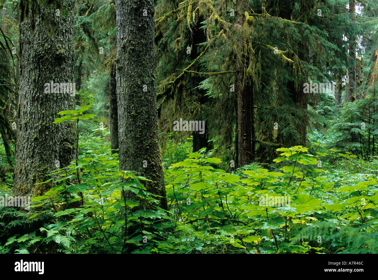 lush rainforest of southeast alaska, tongass national forest near town of kake, kupreanof island - Stock Image