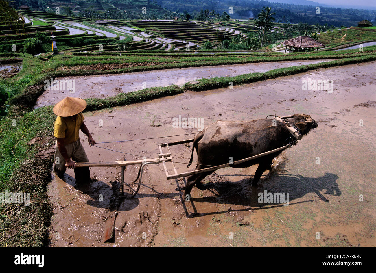 Indonesia, Bali island, ploughing in the rice plantations in terraces in the area of the Batukau mount - Stock Image