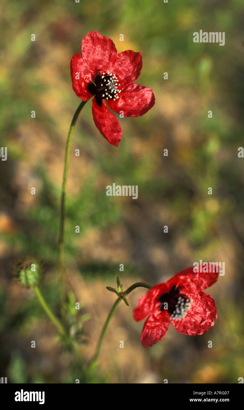 Rough poppies on conservation farm in cornwall england Stock Photo
