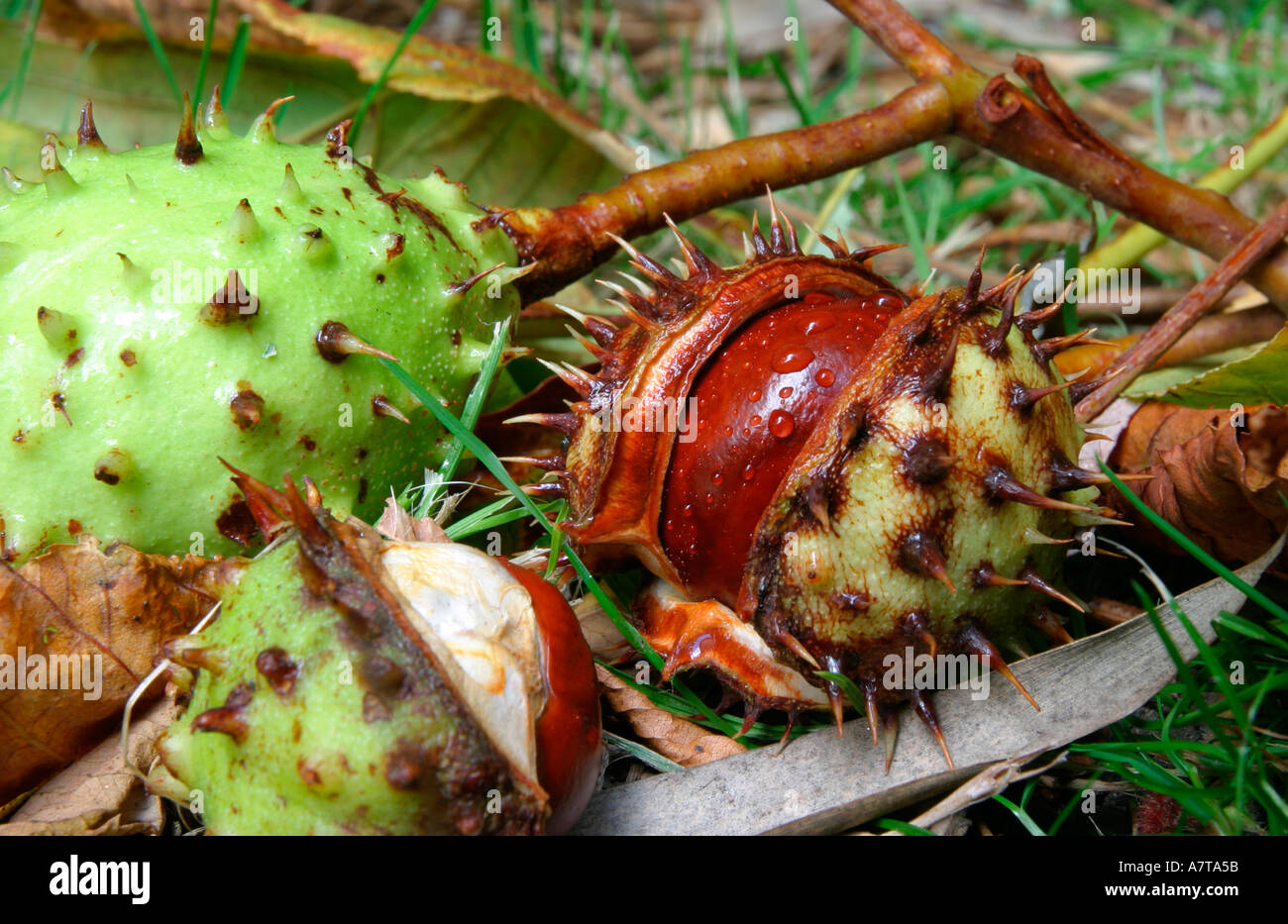 Horse Chestnut conker still within its shell attached to a small branch  - Stock Image