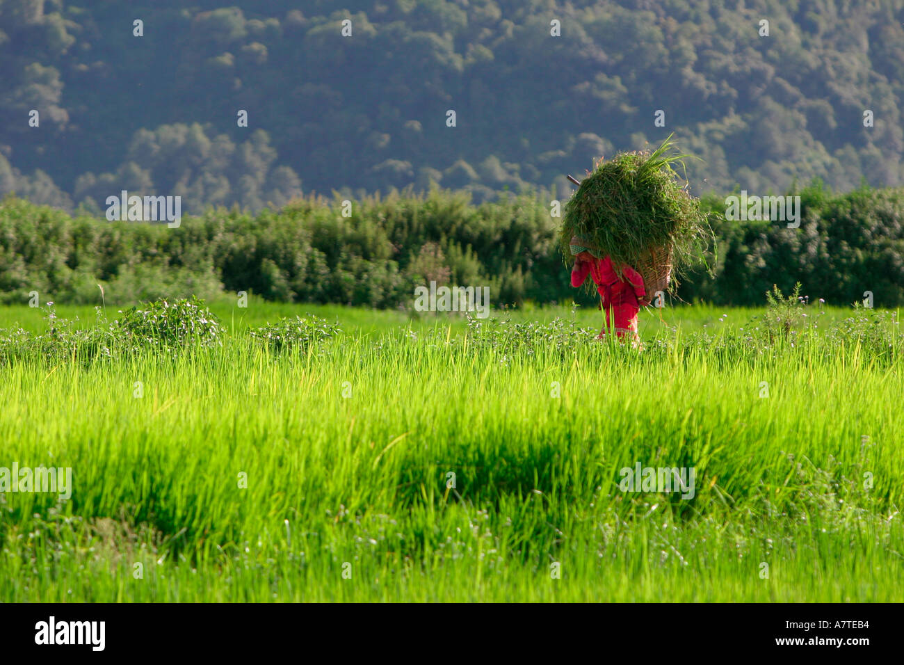 Woman carrying crops through rice paddies Bhainsepati Kathmandu - Stock Image