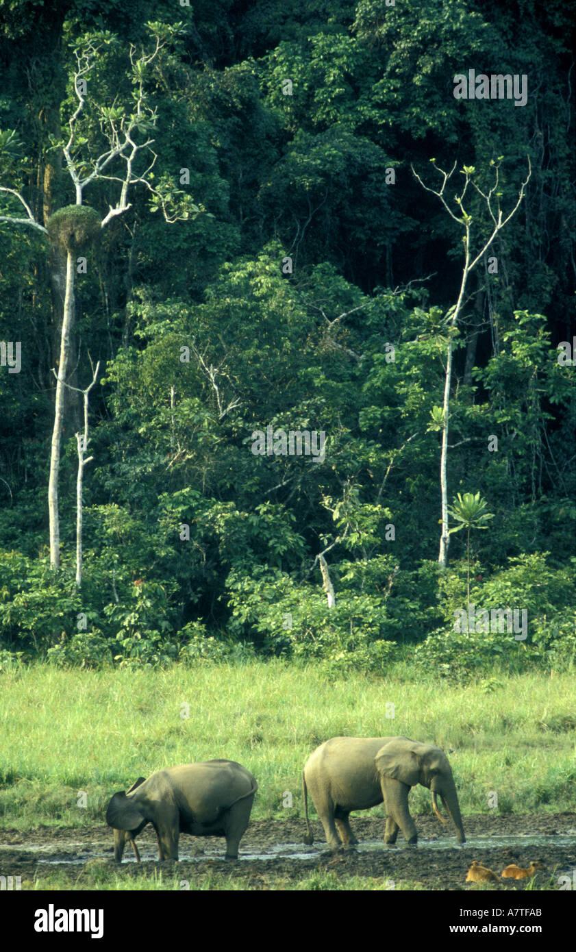 Forest elephants at a salt lick in the Ivindo National Park Gabon West Africa - Stock Image