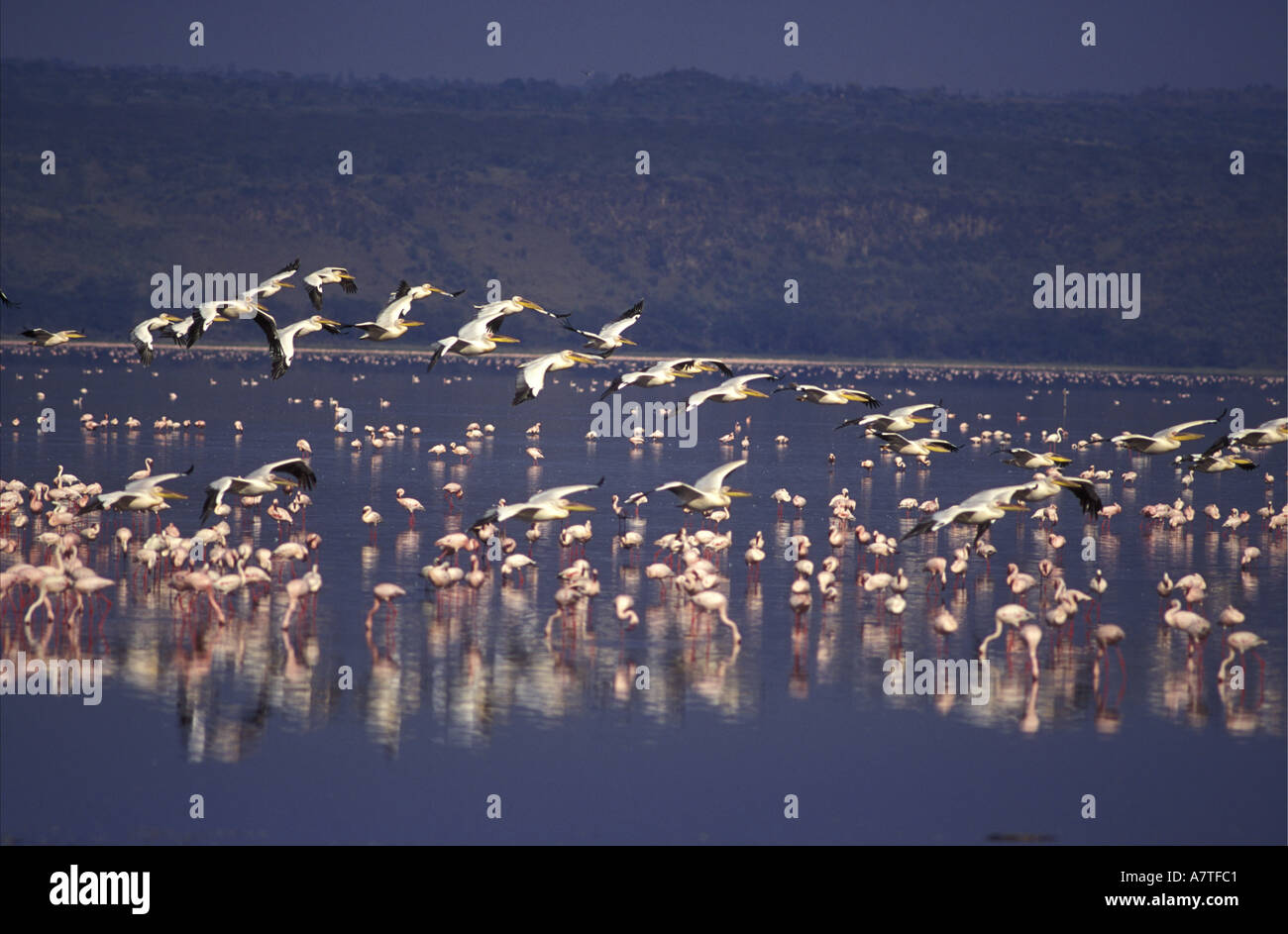 Skeins of White Pelicans starting to soar on a thermal for the flight to Lake Elmenteita leaving Lake Nakuru Kenya East Africa - Stock Image