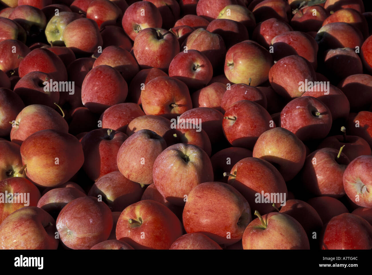 NA, USA, Washington, Monitor. Gala apples freshly picked and ready for sale Stock Photo